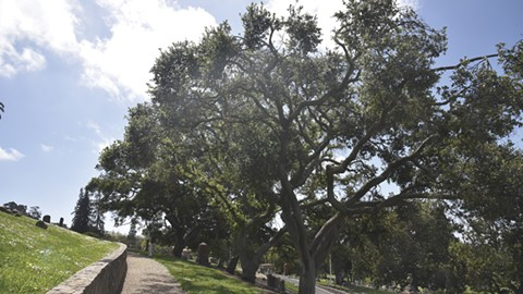 The cemetery plans to hire an arborist to ensure oaks aren't harmed. - PHOTO BY NICK WONG