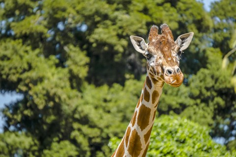 Giraffe at the Oakland Zoo. Last week, zoo officials said the park must be allowed to reopen or it will risk closure due to lost revenues incurred during the pandemic. - OAKLAND ZOO