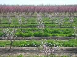 California almonds. - BN100 / WIKIMEDIA COMMONS