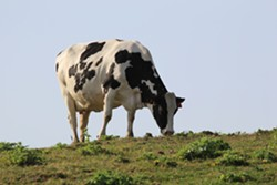 The beef Oakland students will soon be eating comes from retired dairy cows. - KATRINA LOPEZ