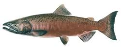 Chinook salmon.