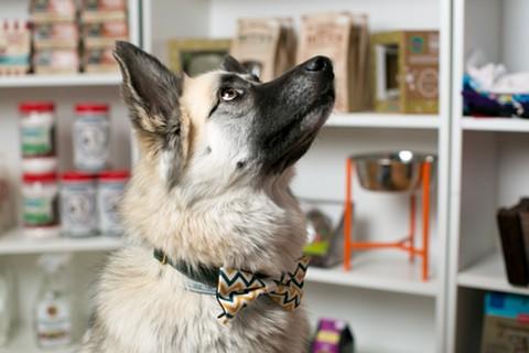 At Loyal Pet Shop, Tiffany modeled one of the stylish bowties available this holiday season. - BERT JOHNSON