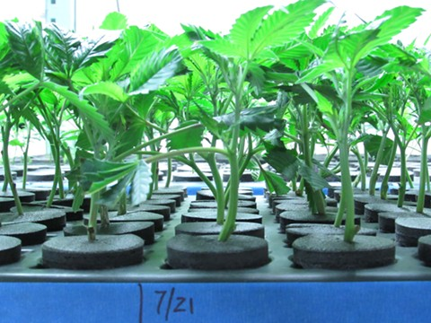 California legalization is sprouting new roots and leaves, like these clones in a commercial nursery at Bolder Cannabis & Extracts in Colorado. - DAVID DOWNS
