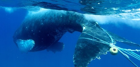 A whale entangled in fishing gear. - ED LYMAN, NOAA