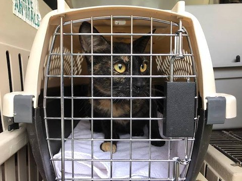 One of ten cats picked up by the East Bay SPCA at Marin Humane in Novato, to make room for animals displaced by the North Bay fires. - COURTESY OF THE EAST BAY SPCA