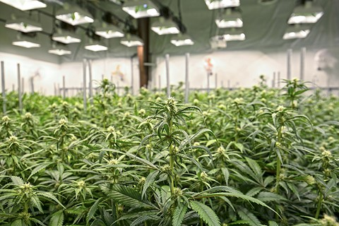 Richmond has dozens of illegal warehouse cannabis grows. - PHOTO BY ISTOCK/SEASTOCK