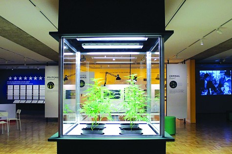 Live marijuana plants on display.