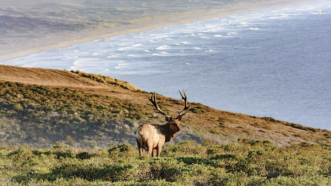 A growing population of tule elk has created tension between wildlife advocates and ranchers, whose cattle compete with the elk for food. - PHOTO BY CARLOS PORRATA