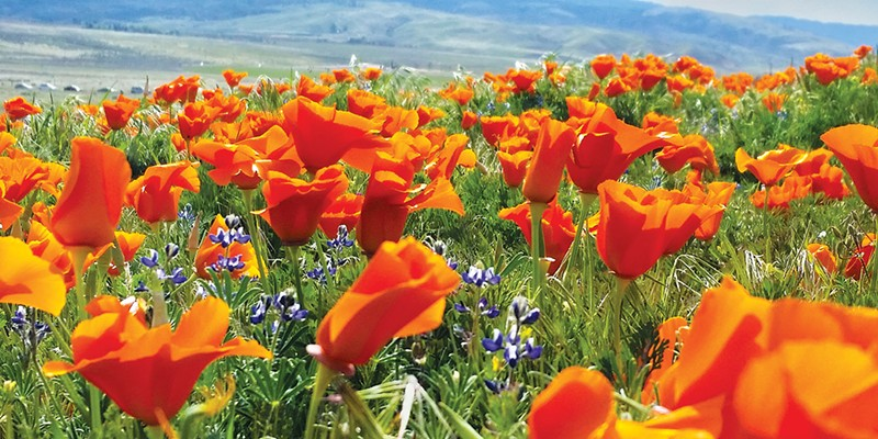 EVER-PRESENT: In addition to utilizing its healing properties, the Chumash people believed the California poppy restored sight to visionless souls.