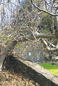OPPORTUNE:  Fig trees make their homes almost anywhere. This wild San Rafael tree grew inside a wall.