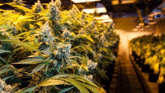 cannabis_up_close.jpg