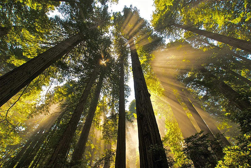 Thanks to Save the Redwoods League, you can go for a free hike on Black Friday in one of California's 49 state parks that feature redwood groves. - WIKIMEDIA COMMONS