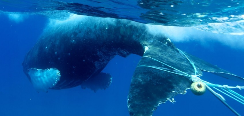Environmentalists sue the state over spike in whale entanglements in click to enlarge a whale entangled in fishing gear ed lyman noaa thecheapjerseys Choice Image