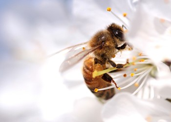 Will the Bayer-Monsanto Merger Further Harm Bees?