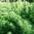 Alameda County Fast-Tracks Medical Pot Ban
