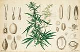5e1d1fa9_cannabis.png