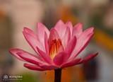 37cc8600_bg_lotus.jpg