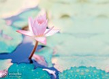19fbe93e_lotus.jpg