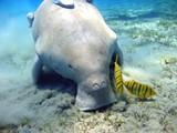 d85aeb08_800px-dugong.jpg