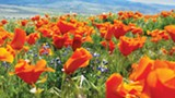 PHOTO BY KEVIN GILL, WIKICOMMONS - EVER-PRESENT: In addition to utilizing its healing properties, the Chumash people believed the California poppy restored sight to visionless souls.
