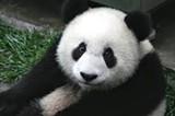 panda_jpg-magnum.jpg