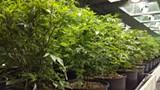 Indoor cannabis.