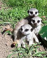 e2f529d7_meerkat_babies.jpg