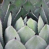Agave in its natural habitat.