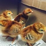 e6af8218_chicks.jpg