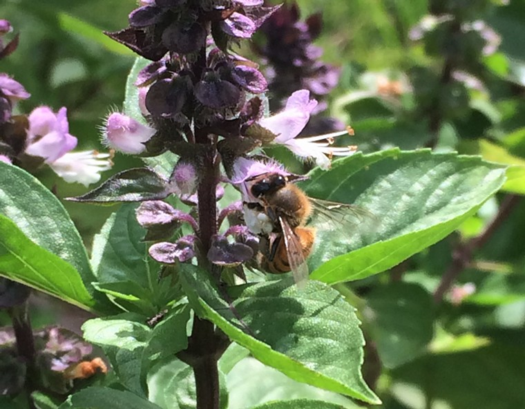 Some Thai basil is left for the bees. - PHOTO BY LORRETTA RUGGIERO