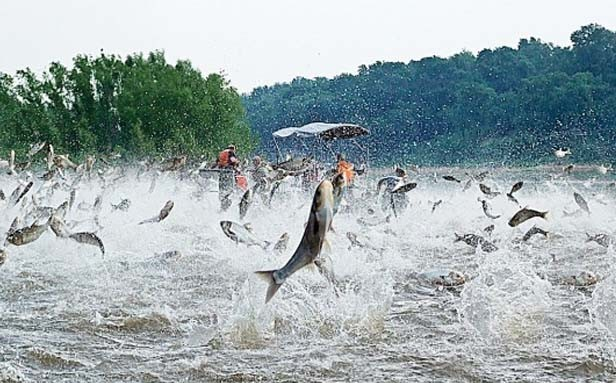 A swarm of silver carp jump out of the water after being startled by an electrofishing demonstration on the Illinois River near Havana. - PHOTO BY NERISSA MICHAELS, ILLINOIS NATURAL HISTORY SURVEY