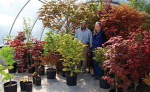 David and Gale Myers have some 400 varieties of Japanese Maples and other cultivars at Davidsan's 22-acre nursery. - PHOTO BY GINNY LEE