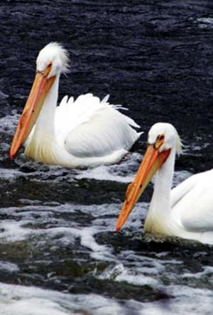 The American White Pelican at Emiquon. This is one of two species of pelicans in North America, and one  of the world's largest birds. They can weigh as much as 30 pounds and have wingspans that can reach  110 inches. - PHOTO BY KELVIN SAMPSON/EXPERIENCEMIQUON.COM