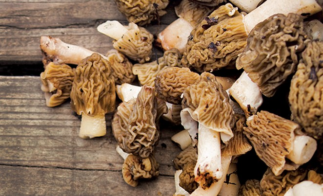 Morels, true or false? See below for more on Verpa bohemica. - PHOTO ISTOCKPHOTO.COM