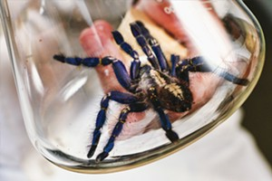 Poecilotheria Metallica, a rare blue sapphire tarantula found in South India, is being studied by Dr. Stephen Johnson at Carbon Dynamic Institute. - PHOTO BY PATRICK YEAGLE