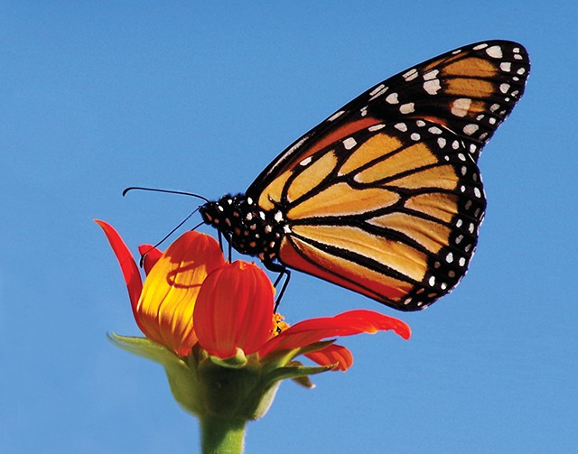 The monarch population has declined 90% since the mid-1990s. - PHOTO BY VIRGINIA SCOTT
