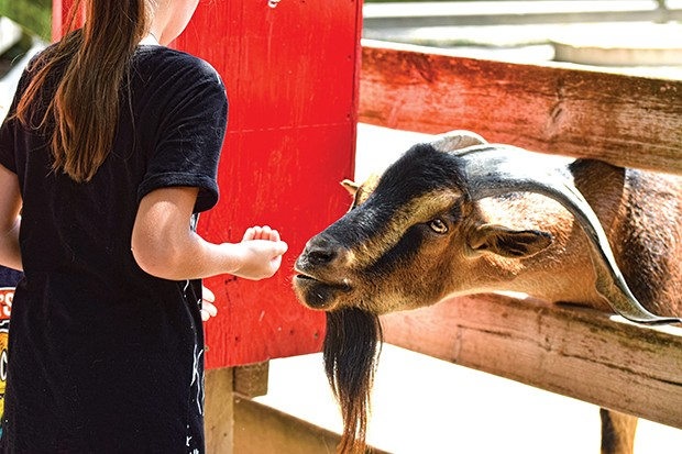 A visitor feeds Typhoon, a male San Clemente goat. There is feed available to give to  a variety of animals in the petting zoo. - PHOTO BY CHRISTINA STAMPF