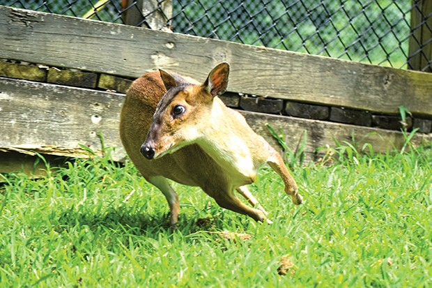 This is Billie. She is a Muntjac, also known as a barking deer. She can be found running around between the red-crested lemur and black bear enclosures. - PHOTO BY CHRISTINA STAMPF