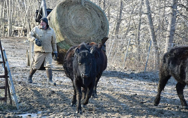 Will Gross of Jacksonville moves part of his beefalo herd to another feeding area on a late February day. - PHOTO BY DAVID BLANCHETTE
