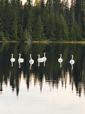 Trumpeter swans on Ray Johnson's wildlife reserve. - PHOTO BY RAY JOHNSON