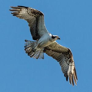 Osprey in flight - PHOTO BY CAROL FREEMAN