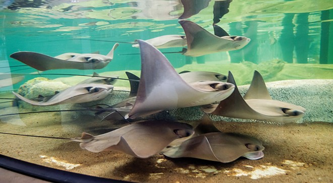 A tank of stingrays is a popular attraction at the St. Louis Aquarium at Union Station. The rays' stingers have been removed so visitors can touch them. - PHOTOS COURTESY OF THE ST. LOUIS AQUARIUM