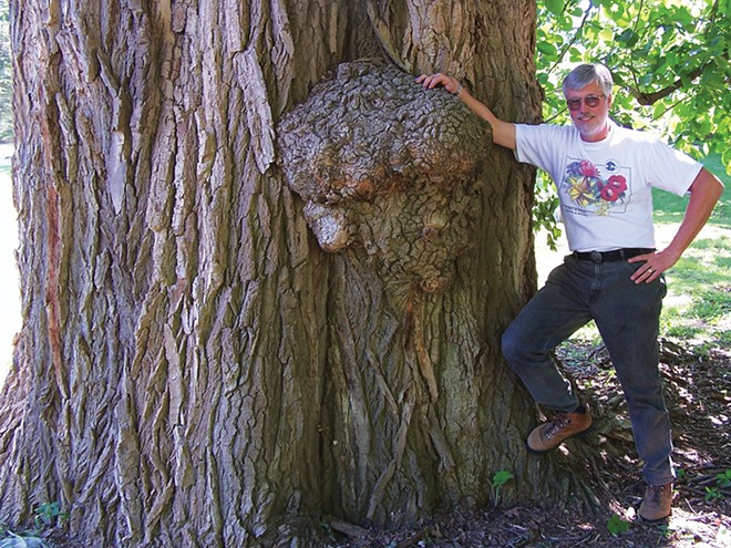 Guy Sternberg next to an old Eastern cottonwood, which is believed to be the largest tree of any kind in the entire city of Springfield. It was the first tree selected for the inaugural tree tour in 2014 and has the inventory code 0-0001. It is believed to have been along a creekbank before the creek through Oak Ridge Cemetery was routed underground in a huge tile. For scale, Sternberg is two meters (six feet six inches) tall.