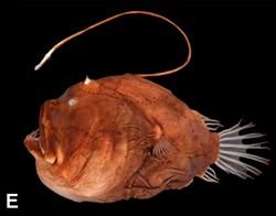 anglerfish.jpg