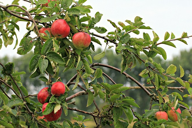 The Inland Northwest is full of backyard fruit trees and many go unpicked. For 11 years, the Moscow-based non-profit Backyard Harvest has worked to get that fresh food to the area's hungry. An upcoming series of gourmet, farm-to-table fundraising dinners will benefit the group. - PIXABAY.COM