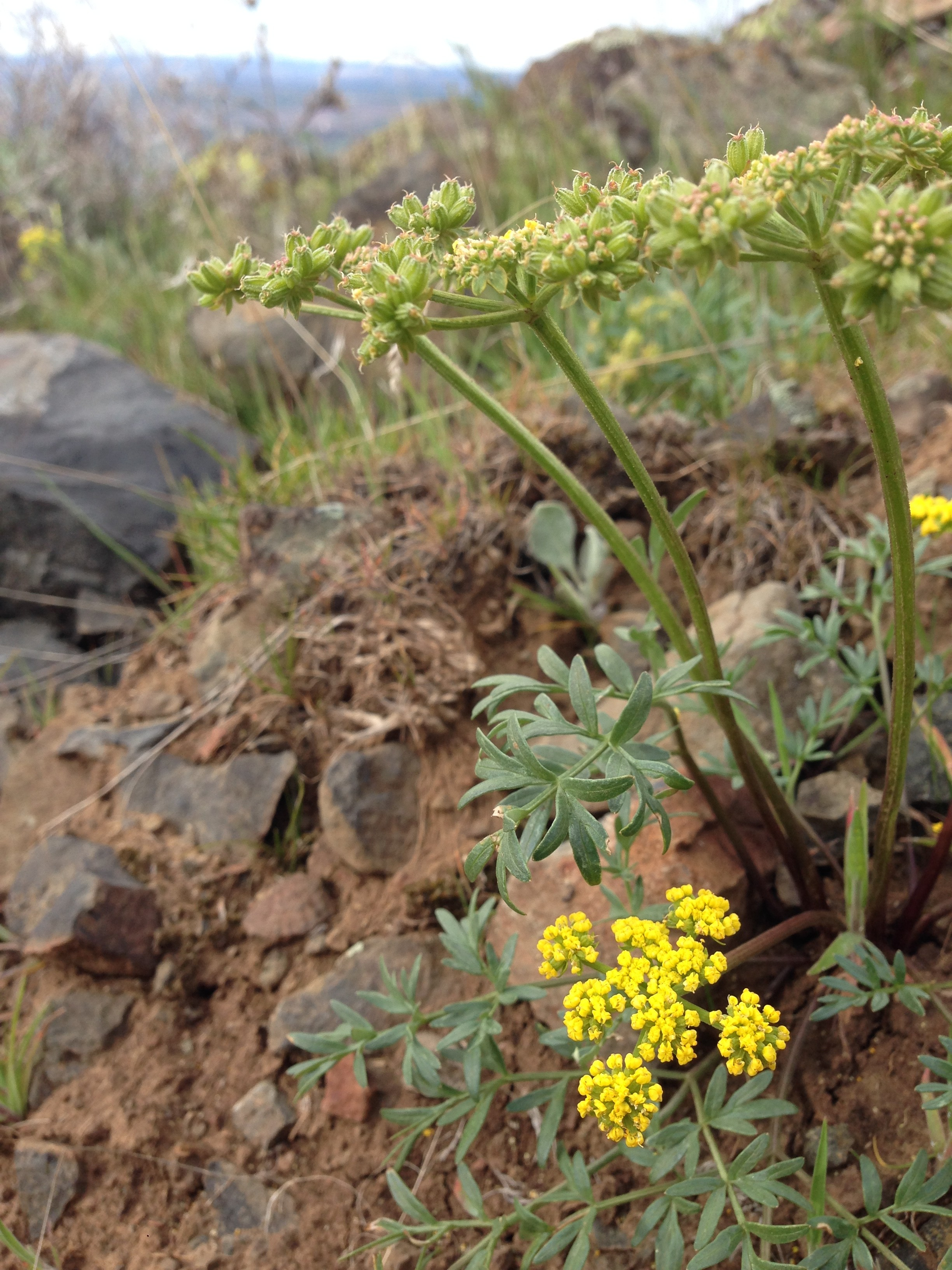 360_wildflowerapp_cous-root-desert-parsley.jpg