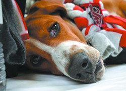 A tuckered-out dog, sporting his WSU colors, takes a nap at the 2013 open house.