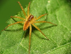 nursery-web-spider.jpg