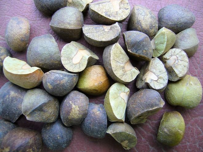 1.-Mexican-Jumping-beans-fresh-from-the-deserts-of-Mexico-photo-Nick-Thomas.jpg