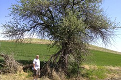 David Bescoter stands by a century old apple tree on an abandoned homestead near Steptoe Butte in 2014.